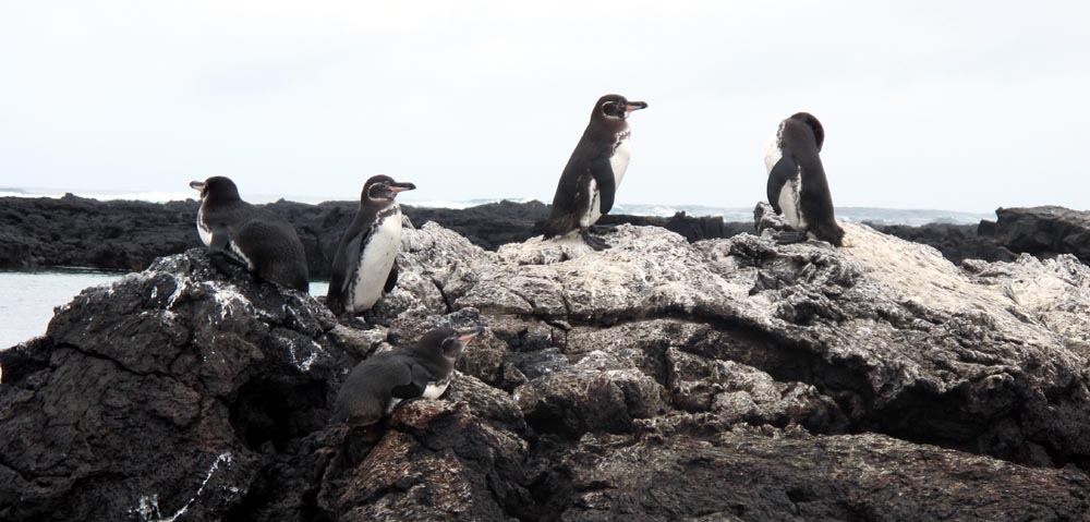 Penguins on the Lava Tunnels  in Galapagos - Image Courtesy The Captain