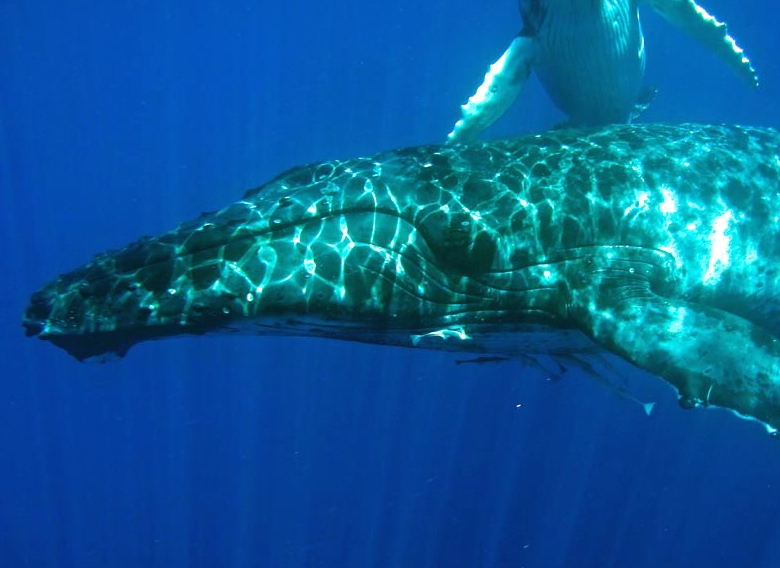 Vava'u - October 2014 - Light Refracting Off  A Humpback Whale