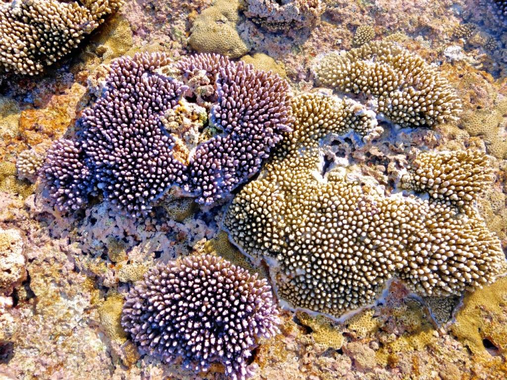 Minerva Reef - October 2014 - Coral (4)