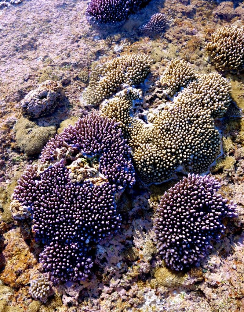 Minerva Reef - October 2014 - Coral (3)