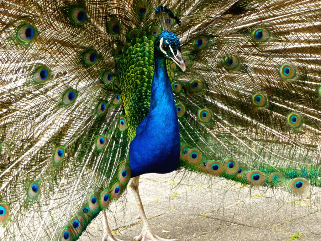 Peacock In The Kawau Historic Reserve