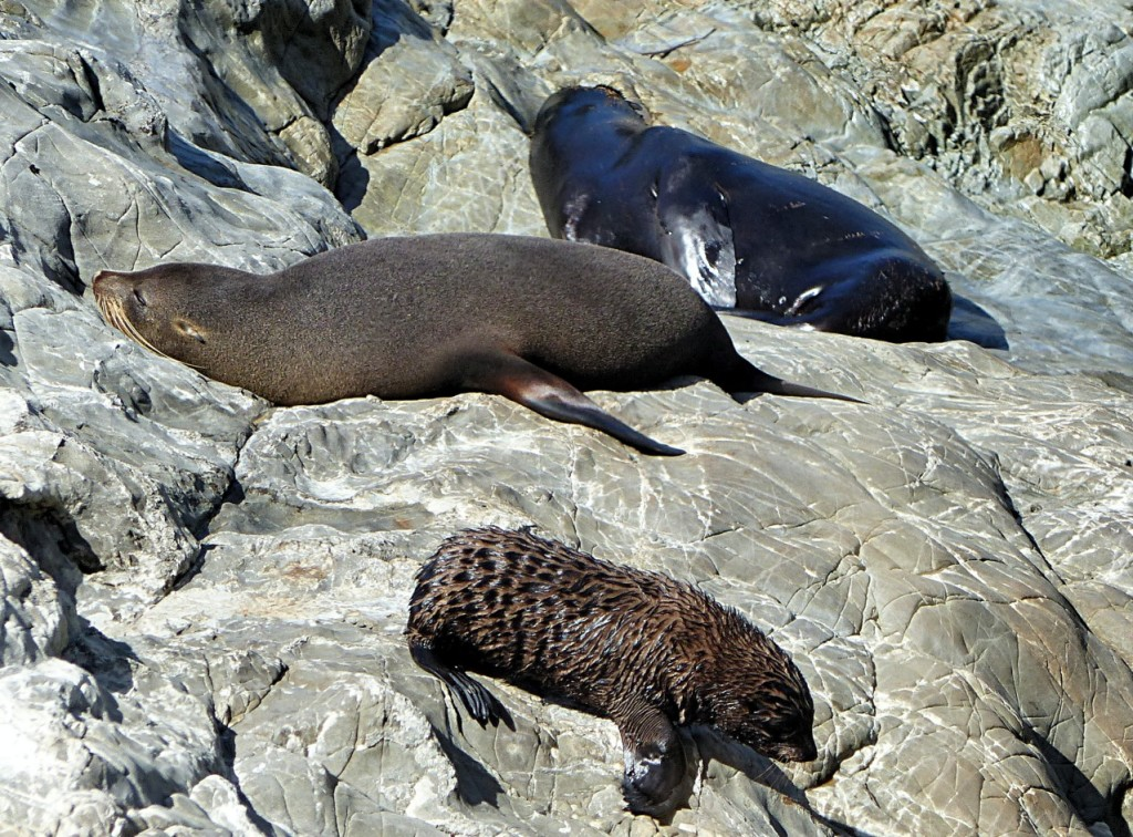 Seal Colony At Ohau Point
