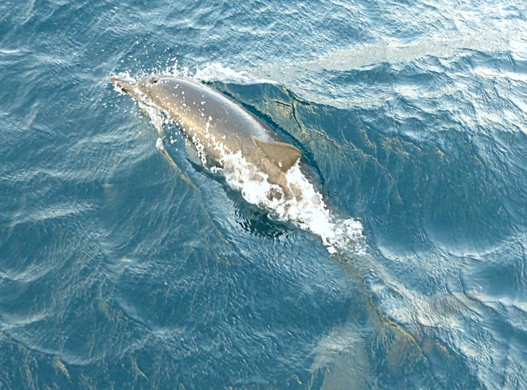 Most Recent Dolphin Sighting Entering Fiji