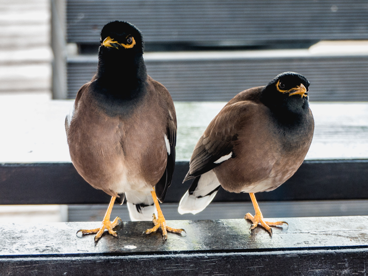 Mynah Birds In Residence At Denarau