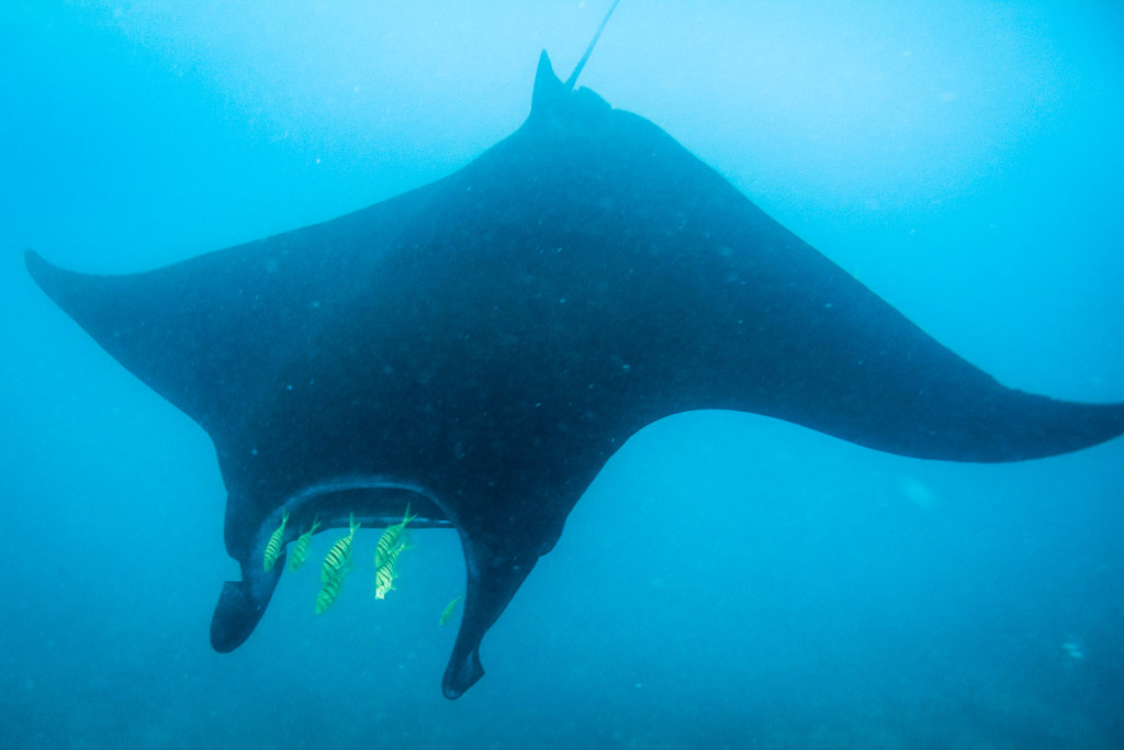 Manta Ray Lead By Tropical Fish
