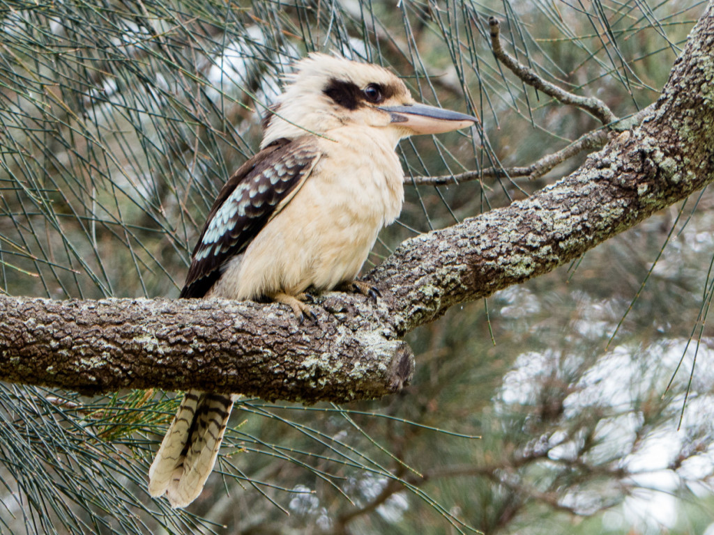 Meat Eating Kookabura