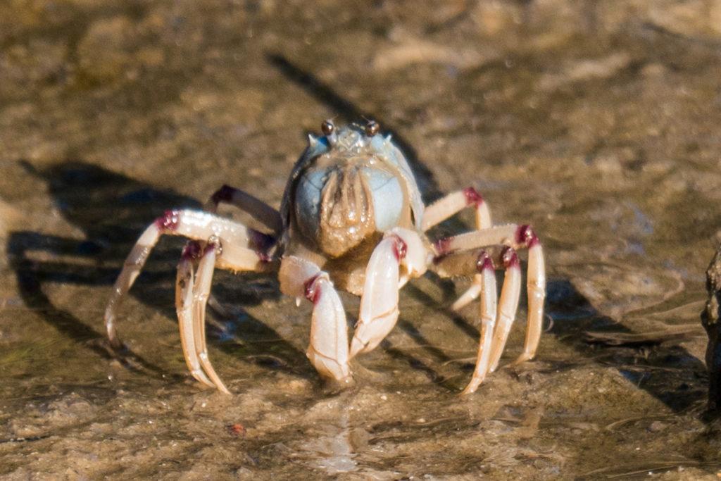 Fraser Island Soldier Crab
