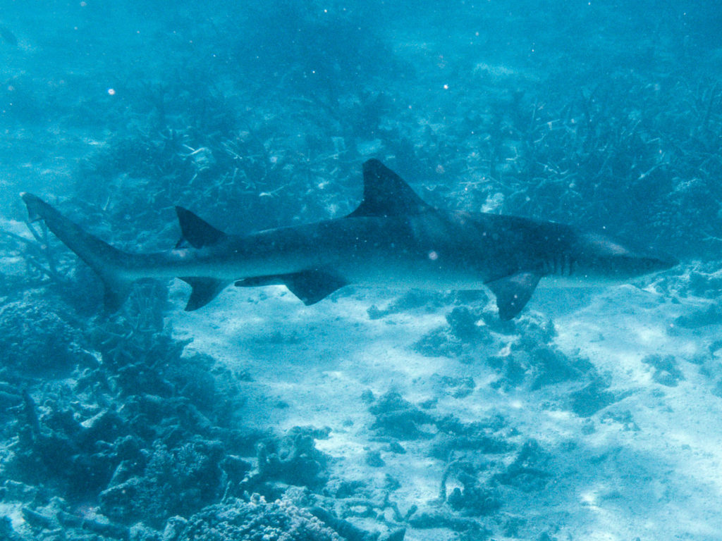 White Tip Shark Hook Reef