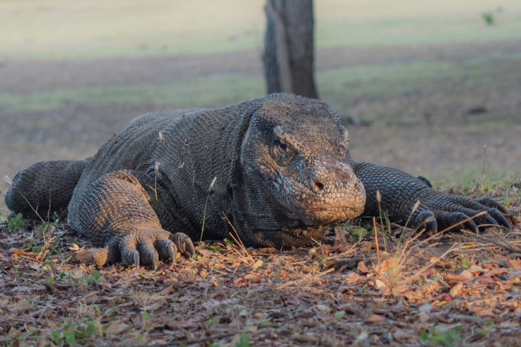 Komodo Dragon At Sunrise