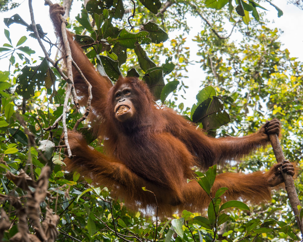 Orangutan Making Way Through The Jungle